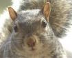 Giant Squirrel