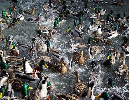 Duck Frenzy