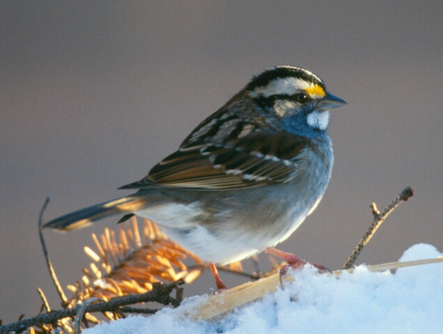 White Throated Sparrow 02
