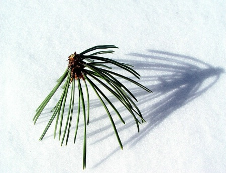 Pine Needles Shadow