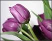 Tulip4224