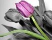 Tulip4240