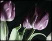 Tulip4379