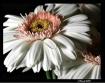 Daisy4685