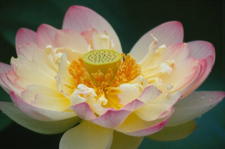 Lotous Blossom