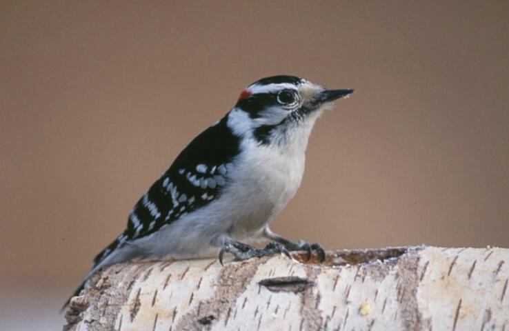 Downey Woodpecker #22