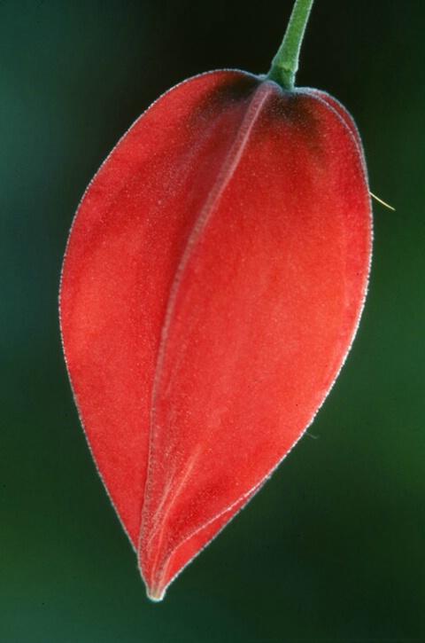 Red Fuscia Pod