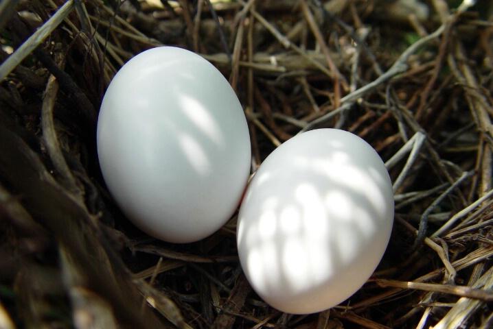 Nestled Dove Eggs, Swanson School
