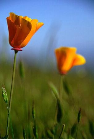 ~golden poppies~