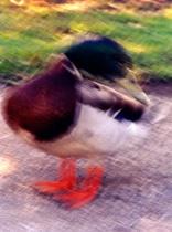 Crosshatch Duck