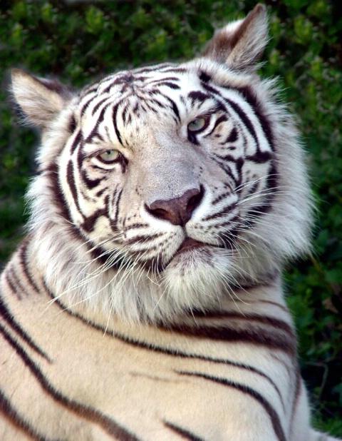 Contented Pearl: The Potawatomi White Tigress