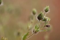 Tiny  field  weed