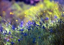 Mt. Diablo Wildflowers