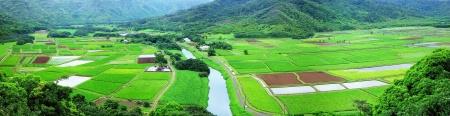 Taro Fields Of Hanalei
