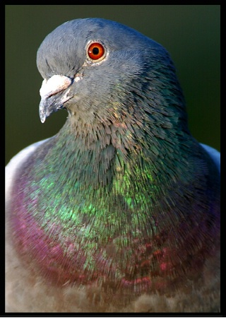 Rock Dove Close-up