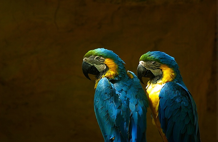 Double Macaws