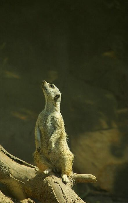 Meerkat!