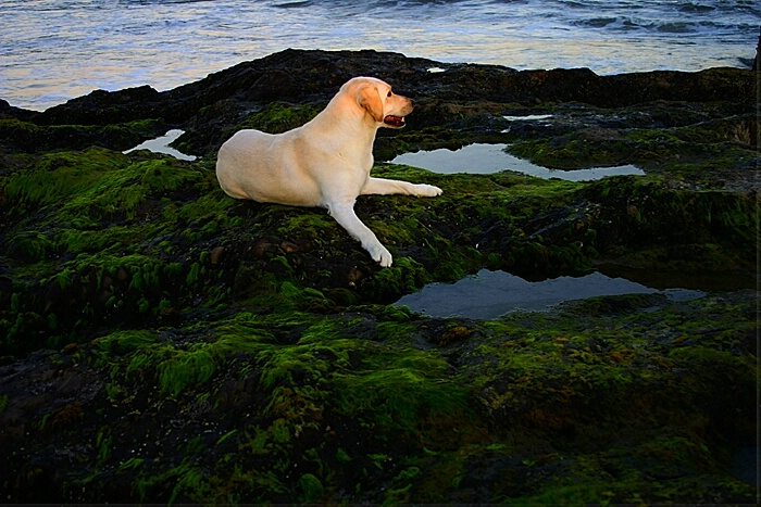 Labrador at Lagoon II