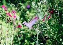 Himingbird