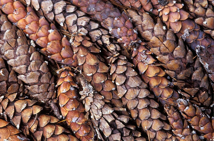 Pine Cone Patterns