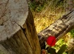 Last Rose of Summ...