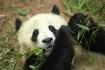 Giant Panda, Sich...
