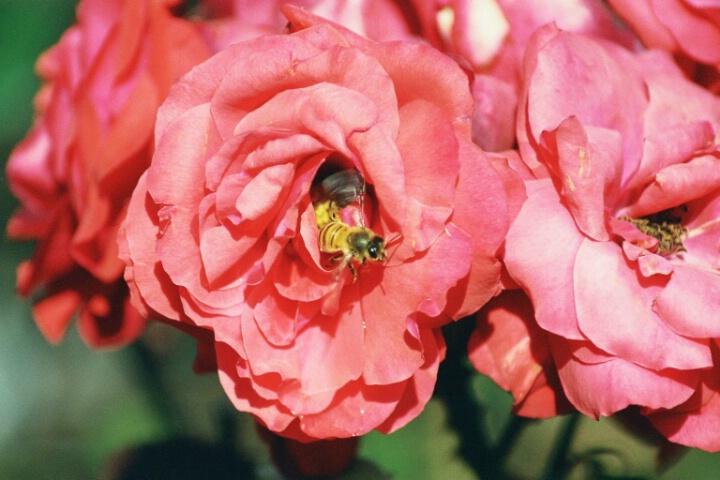 Rose bee 2