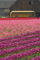 School Bus and Tulips