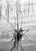 Shoreline Weeds B...