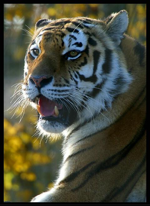 Amur Tiger II