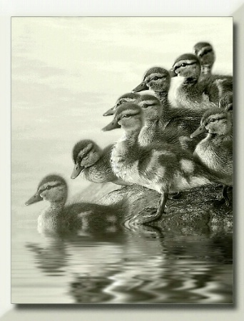 Platinum Ducklings