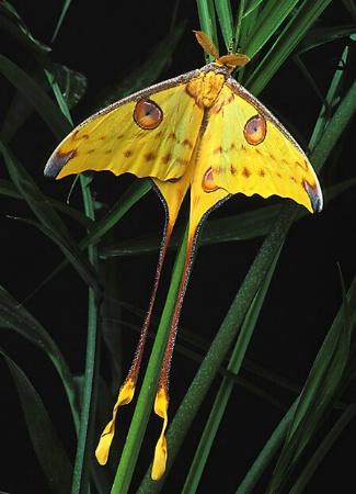 Male Comet Moth