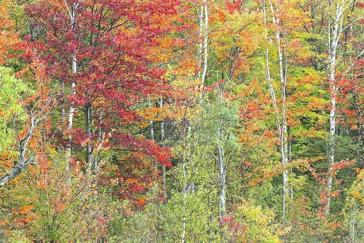 Birch in Fall Colors
