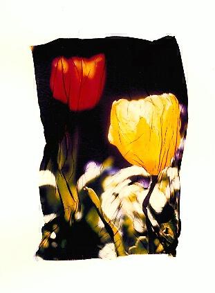 Tulips - ID: 240943 © Jim Miotke
