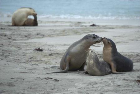 Australian Seals