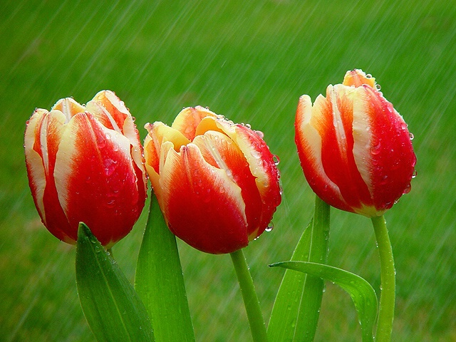 tulips in the rain