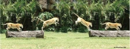 JUMPING BENGAL TIGER