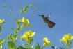 Hovering Hummingb...