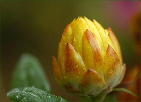 strawflower bud