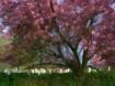 Arlington Cherry