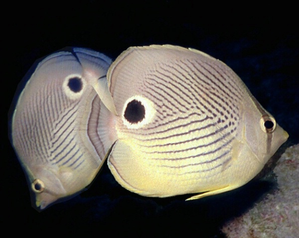 Four eye butterflyfishes