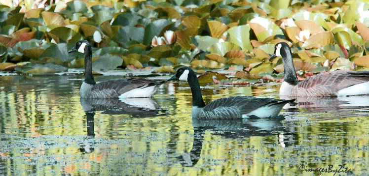 On Golden Pond - ID: 419871 © Zita A. Strother