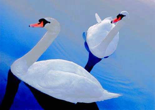 Two Swans - ID: 420346 © Mary B. McGrath