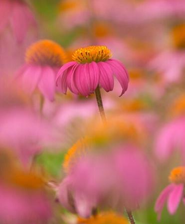 Purple cConeflower