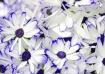 Blue and White Da...