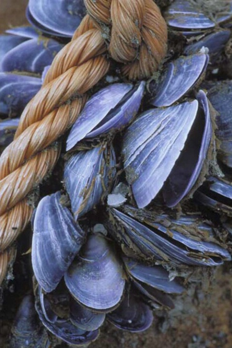 AN-001 Maine Mussels - ID: 645136 © Kristina Morgan