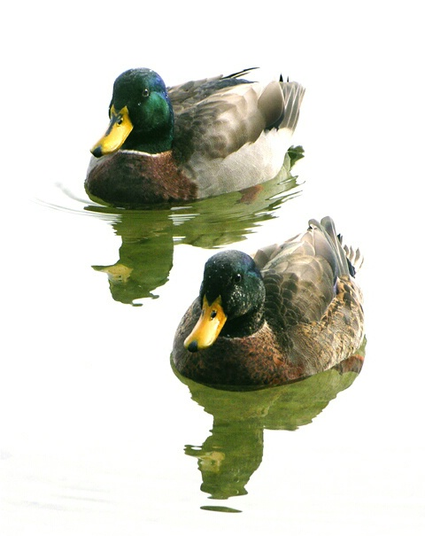 Wintering Ducks