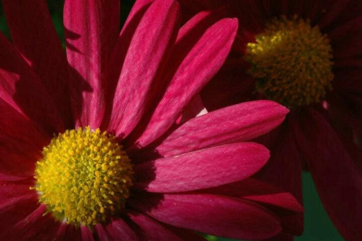 Pink Daisy 1 - ID: 761383 © Frieda Weise