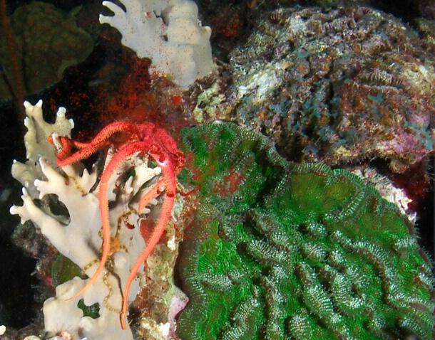 Spawning ruby brittle star