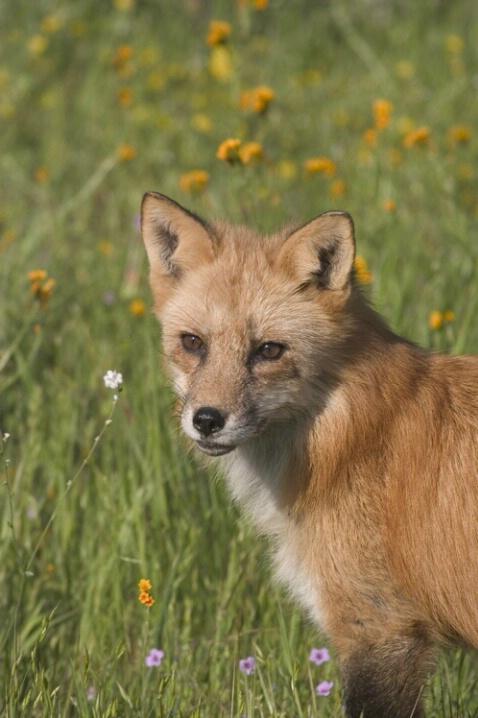 Fox In Wild Flowers - ID: 536741 © Jim Miotke